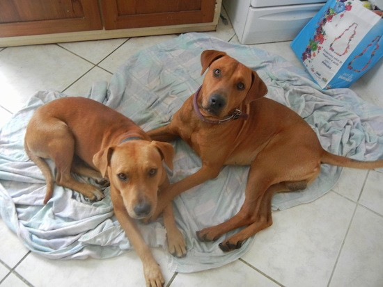 Two large breed brown dogs laying on a blanket in a kitchen.