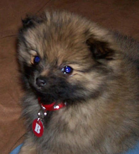 A little fluffy brown, black and tan puppy with small ears and a little black nose wearing a red collar sitting down.