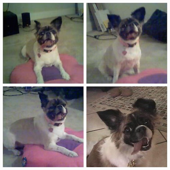 A collage of four pictures of a thick bodied white, tan, brown and black dog with large prick ears laying and sittting inside of a house