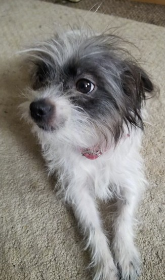 Front view of a small, gray and white scruffy dog with her ears pinned back, wide brown eyes and a black nose laying down