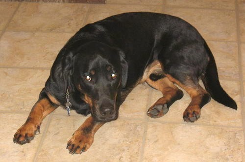 A thick bodied black and tan dog with very short legs, a big head a long tail and a long body and long hanging ears laying down on a tan tiled floor