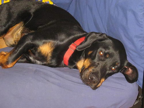 A thick, black and tan dog with a big head and short legs with brown eyes and a black nose laying down on a blue bed