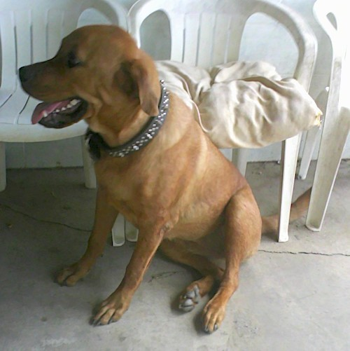 Front side view of a thick bodied, large, muscular dog sitting down in front of plastic lawn chairs looking to the left while wearing a thick black collar with bling on it
