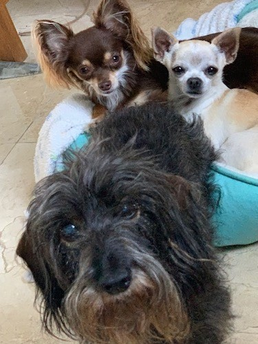 Three toy sized dogs, a brown and tan and a tan and white laying on a green dog bed and a long haired gray and black dog standing in front of the bed