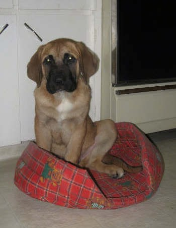 A thick, large breed puppy with a big head, long hanging ears, a tan body with white on his chest and a black muzzle sitting down in a small red dog bed