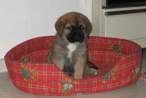 A small, fluffy, thick coated little puppy with a tan body, black muzzle and white chest sitting down in a red dog bed