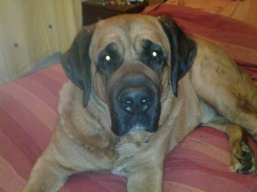 A big, large breed dog with a big head, very large snout with a big nose and extra skin and wrinkles around  his face with ears that hang to the sides laying down on a red bed