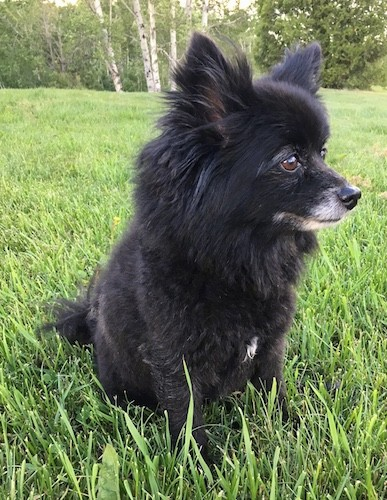 A fluffy little dog with a graying muzzle and perk ears, brown eyes and a black nose sitting down in grass