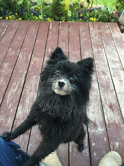 A fluffy little black dog with mud all over his face with his front paws on a person who is sitting outside on a wooden deck with flowers at the edge of the deck
