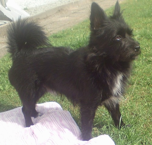 Side view of a shaggy, but soft looking black dog with a white patch on his chest, A fringe tail that curls up over his back, brown eyes and small ears that stand up standing outside in grass with three paws on top of a pink blanket