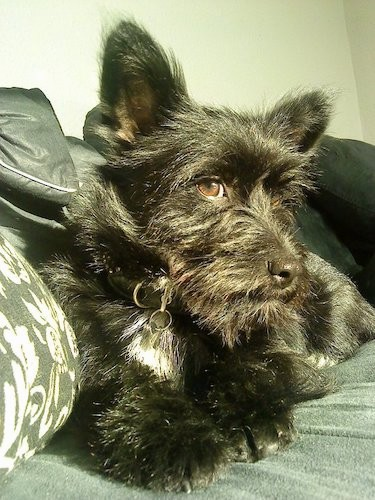 A shaggy little black dog with a white spot on his chest, brown eyes, small prick ears and a medium coat laying down on a couch inside of a house
