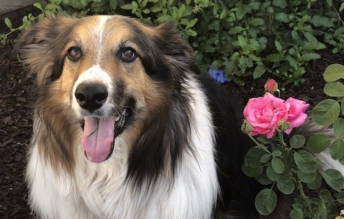 Close up head shot of a tricolor long haired dog with a very thick coat and brown eyes sitting down in a garden next to pink roses