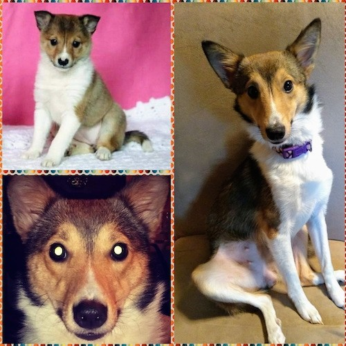 A collage of three pictures of a tricolor dog with a thick coat, a puppy picture with a hot pink background, a head shot and a full body shot of the dog full grown sitting down.