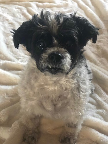 A small white and black dog with a dark head and light body sitting down on a fluffy white blanket with his bottom tooth caught up on his upper lip.