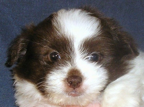Close up head shot of a little brown and white puppy with a brown nose and dark eyes.