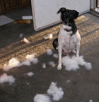 A short coated black and white dog with a wide chest and ears that fold to the front sitting down on a brown carpet surrounded by chewed up stuffing with a dog bone behind him.