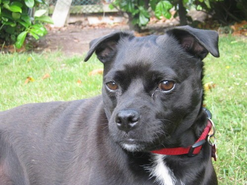 Staffy Bull Pug Dog Breed Information And Pictures