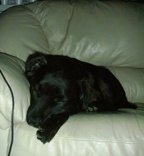 A shiny coated lack dog sleeping on a tan leather couch