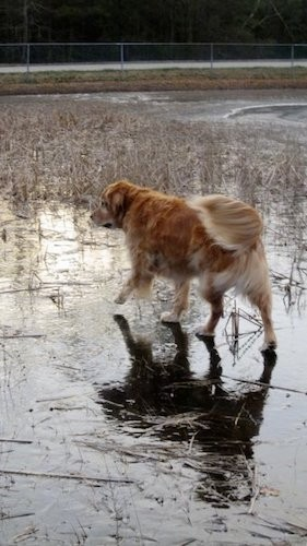 A large breed golden colored dog with a tan, thick undercoat walking across ice on a frozen pond with grass growing up through the ice