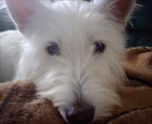 Front view close up of a soft white dog with long hair, a long muzzle and a big black nose laying down with his head on a brown blanket