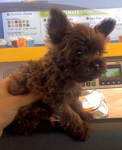 A fluffy little dark chocolate colored dog wiht prick ears that stand up in the air, wide round dark eyes and a black nose looking like a cute little plush stuffed toy sitting down with a hand on his back