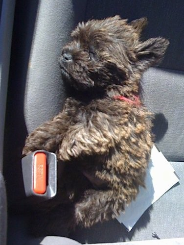 A small little, thick coated, brown brindle, wavy coated puppy sleeping on the seat of a car next to the seat belt