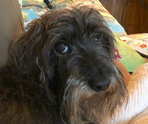 Close up head shot of a gray and black long haired little dog with a long muzzle, a black nose and dark eyes laying on a person's bed