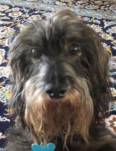 Close up head shot of a gray and black wirey looking dog with ears that hang to the sides with long hair hanging from them standing on a black oriental rug