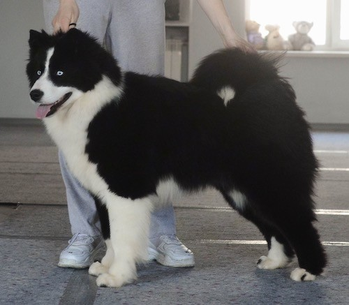 A black and white dog with a thick coat and ice blue eyes being shown by a person who is next to them.