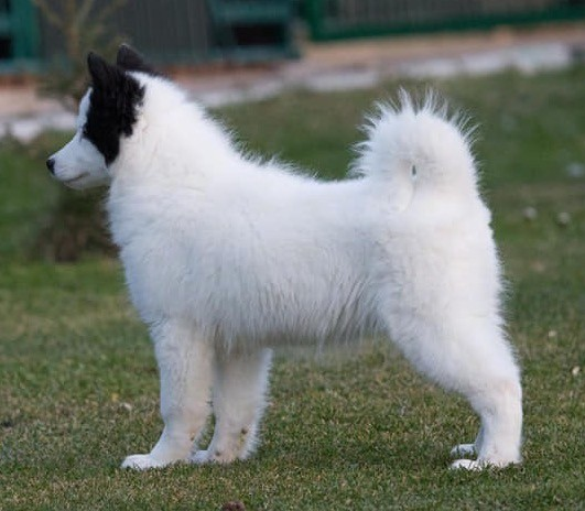 A white, fluffy dog with one black ear and a black spot on her face standing outside in grass