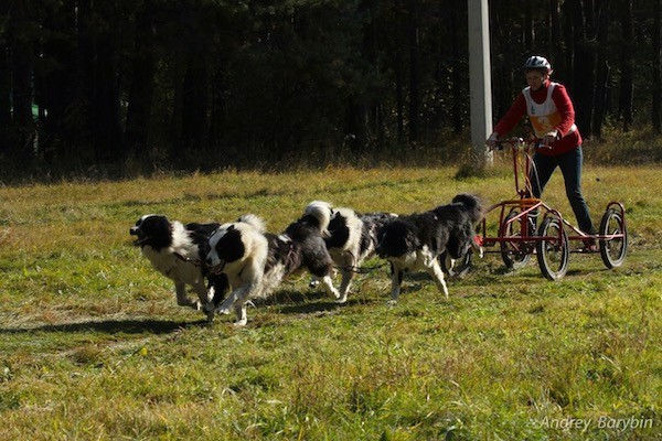A pack of Yakutian Laika dogs pulling a person who is riding on a bike sled outside in grass