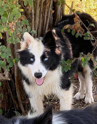 A thick-coated, black and white dog standing outside under a bush with her pink tongue showing
