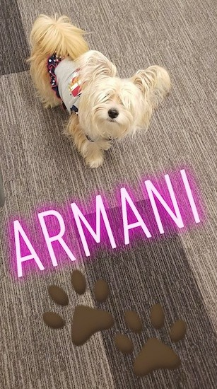 A small, long coated cream colored dog with large fringe ears standing on a brown rug with the words Armani written in pink letters and two brown paw prints overlayed under the dog.