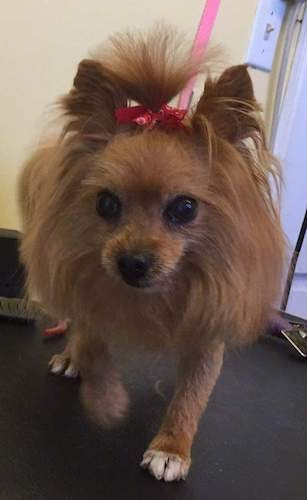 A small long haired brown dog with longer hair around her head, perk ears that stand up and a bow holding up her hair out of her eyes in a top knot and wide round dark eyes walking forward.