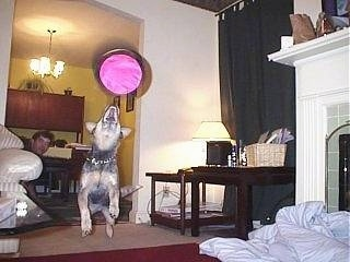 Darwin the Australian Blue Heeler is jumping in mid-air after a pink frisbee which is inches from his open mouth in a house
