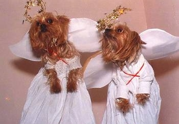 Two Yorkie dogs wearing Angel costumes
