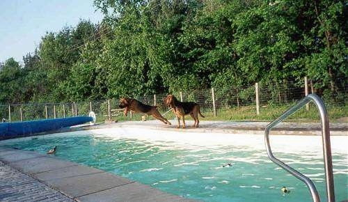 A Bloodhound dog is jumping into a pool as a second Bloodhound watches.