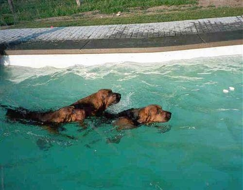 Two Bloodhounds are swimming through a pool