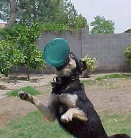 dogs playing frisbe