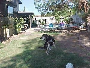 Buck the Shepherd/Husky/Rottie mix is landing from a jump with a ball in its mouth