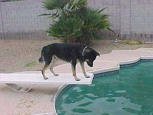 Buck the Shepherd/Husky/Rottie Mix is standing on a diving board and looking down at a pool of water