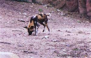 African Wild Dog digging in dirt with tree in the background
