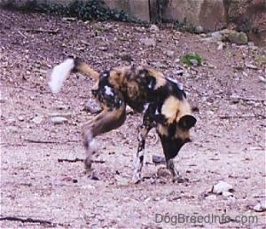 African Wild Dog digging in dirt with large rocks in the background