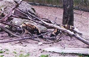 Two African Wild Dogs digging around fallen trees with small long tree in the background