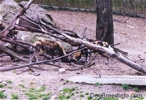 Two African Wild Dogs digging around fallen trees