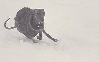 Glynis Cyfie Bryn the Whippet is wearing a coat and running through snow