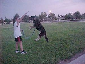 Buck the Shepherd/Husky/Rottie mix is a few feet off the ground jumping up at its owners hand
