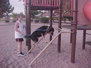 Buck the Shepherd/Husky/Rottie mix is climbing up a ladder to a playset at a playground with its owner