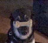 Close Up - Buck the Shepherd/Husky/Rottie mix is sitting on a carpet with a treat shaped like a bone on its snout