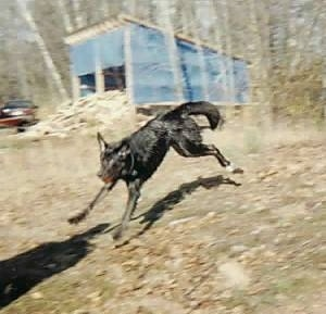 Shadow the Dog landing from a jump with a ball in its mouth with a blue lean-to shed shelter in the background